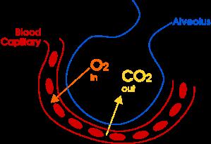 Gas_exchange_in_the_aveolus_simple_(en).svg